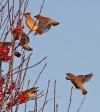 Waxwing 4 Milner St Warrington 081210 Jjc 600